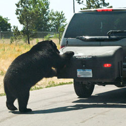 Bear attempts to get inside StowAway Cargo Carrier