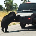 Bear attempts to get inside hitch mount cargo box